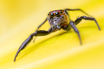 Jumping Spider (Salticidae) hunting among vegetation. San Jose, Costa Rica.