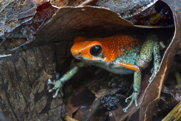 Close up of granular poison frog
