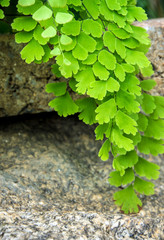 Freshness Adiantum, black leaf stalk fern