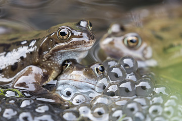 Common frogs (Rana temporaria) in spawning pond, Northumberland, UK, March.