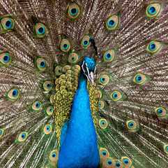 Closeup portrait of beautiful peacock