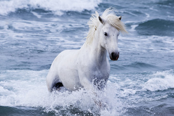 White Camargue stallion coming in from the sea, Camargue, France, Europe. May.