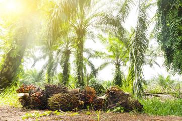 Palm oil plantation at Malaysia, Asia