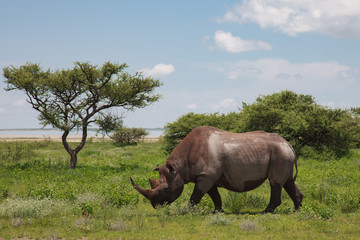 wild rhinoceros walks, eating and grazing on a sunny day in the bushe