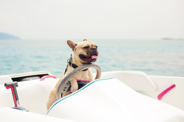Funny French Bulldog dog is sitting behind the wheel of a speedboat, put his paws on the steering wheel against the sea, the carefree sunny summer day. lighting effects, speed boat
