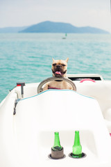Funny French Bulldog dog is sitting behind the wheel of a speed boat, put his paws on the steering wheel and looking at the camera, against a background of the sea, stand next to two bottles of beer