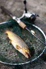 High angle view of brown trout with fishing rod on net