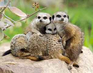Mob of meerkats huddling together, South Africa