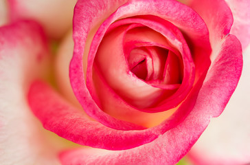 Beautiful pink rose design for background