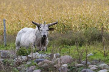 Long Horned Bull