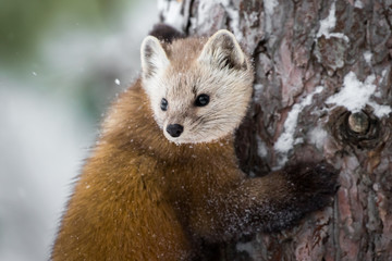 Pine Marten - Martes americana, hugging a tree during a snow storm.  Now has accumulated on it's fur, in it's face and on the tree.
