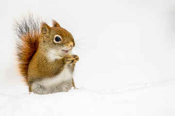 American Red Squirrel - Tamiasciurus hudsonicus, sitting in the snow with a seemingly happy looking smile.