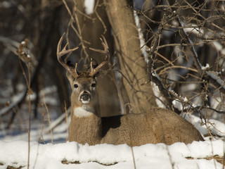 Fototapete - Whitetail Buck in the snow