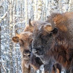 Fototapeta Two Wisents in winter birch forest
