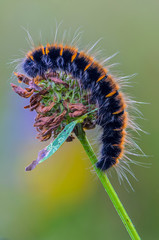 Hairy caterpillar of butterfly lasiocampidae on a flower