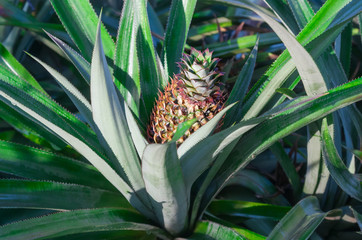 Pineapple on tropical fruit field.