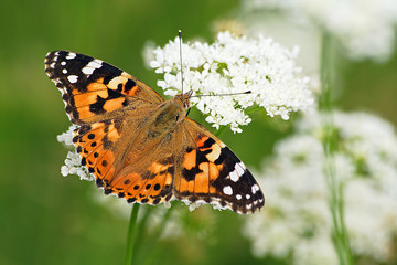 Painted lady on flower
