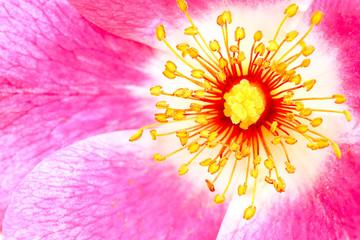 vibrant wild rose