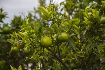 Unripe oranges fruit on the tree