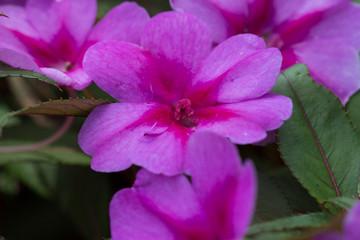 Pink New Guinea Impatients