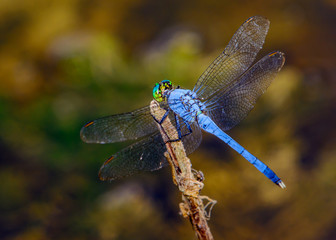 Male blue dasher (Pachydiplax longipennis) dragonfly