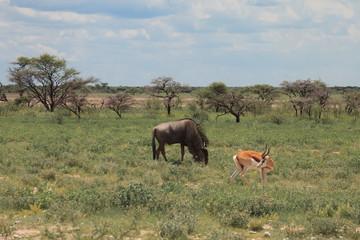 big wildebeest grazing and eat with buatifui springbok in the bu