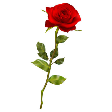 Realistic red rose. EPS 10