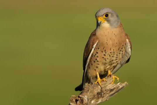 Male of Lesser kestrel. Falco naumanni