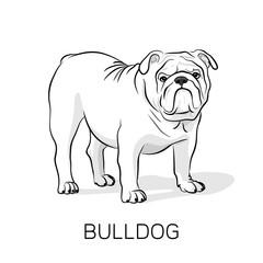 Cartoon English Bulldog.Dog illustration