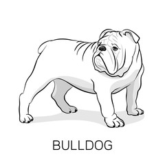 Cartoon English Bulldog.Dog illustration