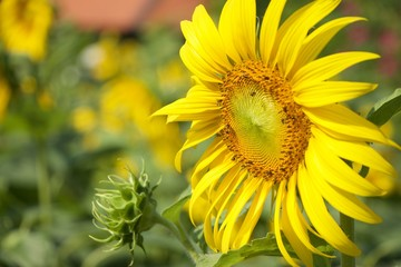 Sunflower Head Close Up Bees Pollinating Background real bokeh