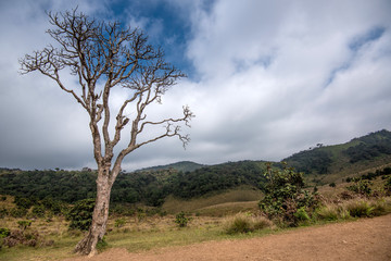 Lonely dry tree in Horton Plains