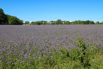 Panorama of the holiday island Ruegen in spring with Phacelia