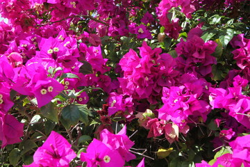 Beautiful azalea shrub  blooms in the garden