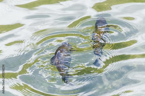 Fische schwimmen im teich imagens e fotos de stock for Fische in teich
