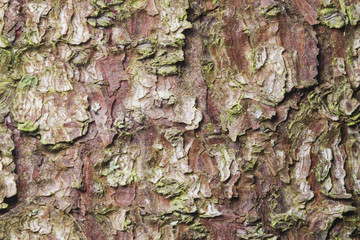 Pine tree bark texture background macro, selective focus