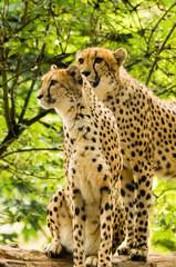 Two cheetahs Acinonyx jubatus.