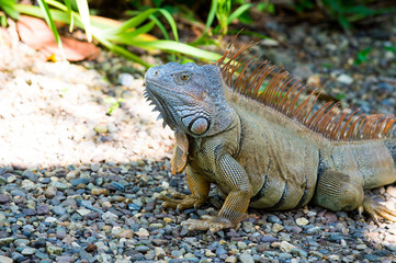 Wild green lizard or iguana