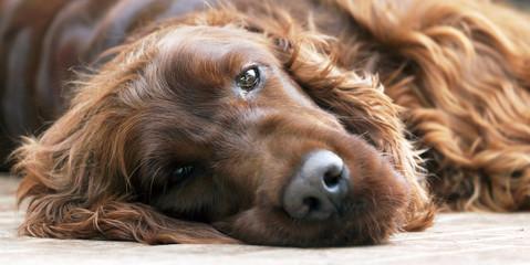 Banner of a beautiful lazy Irish Setter dog