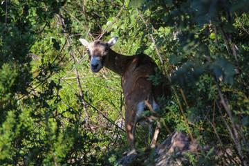 European mouflon female between trees.