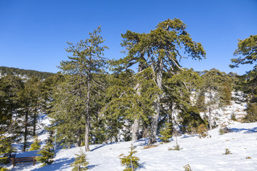 Picturesque winter landscape with snow and blue sky in Troodos Mountains on Cyprus