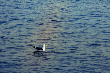 One seagull swim and rests after flying in the blue air above th