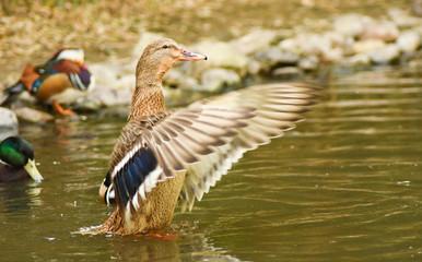 Duck wingspread on water.