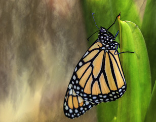 Monarch Butterfly dries it's wings on a green stem after emerging from its cocoon, neutral watercolor background