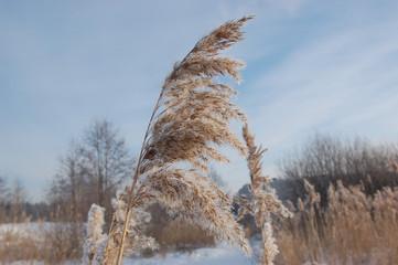 Phragmites communis – Тростник обыкновенный  в морозный зимний день на фоне снега и голубого неба.