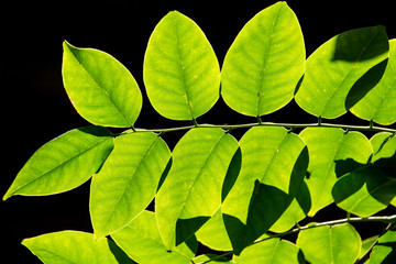 Sunlight shining through fresh green leaf in the morning at the