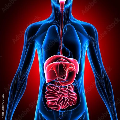 3D illustration of Male Digestive System, Human Anatomy. \