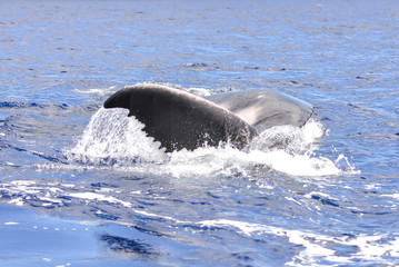 Whale calf which swims, tail out of the water, Polynesia