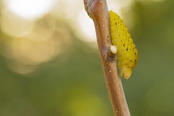 gusano de la mariposa Iphiclides feisthamelii, comiendo sobre la rama de un arbol