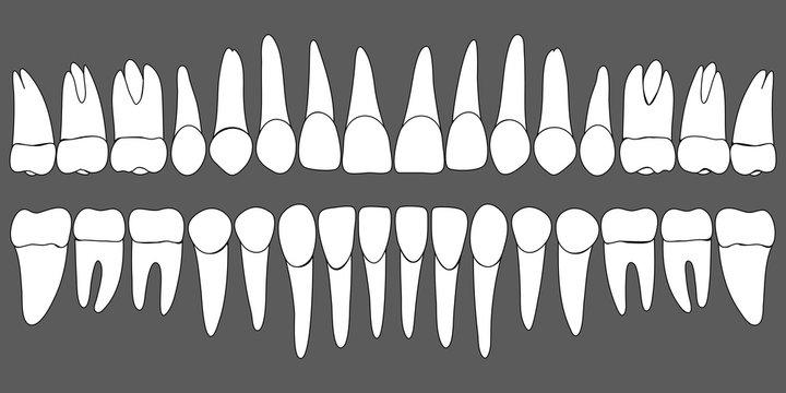 set of human teeth dental template